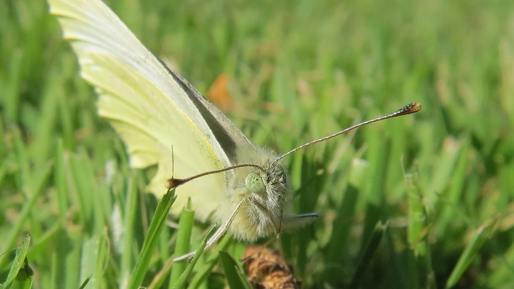 The cabbage white butterfly over winters as a pupa and emerges in early spring, it is one of the first butterflies of the season. When i see them, i know winter is truly over. They are harbinger of spring just as much as the singing robin is.