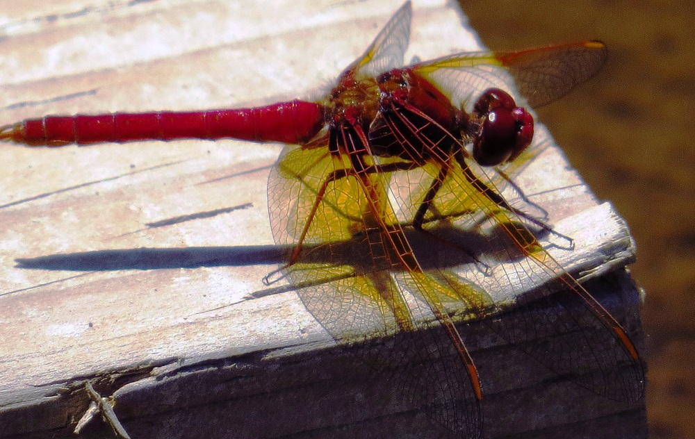 The Cardinal Meadowhawk Dragonfly is small, with only a length of 4 to 5 cm. The abdomen is broad and has the same width along its entire length, in contrast to the other members of its genus.