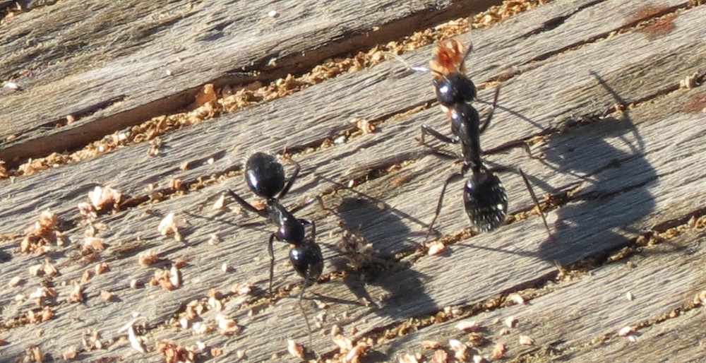Carpenter Ants, Vancouver Island, BC