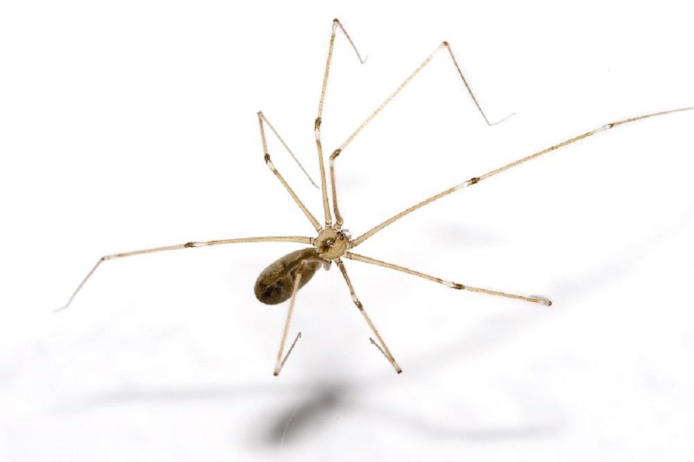 Cellar Spider, Spiders, BC Coast