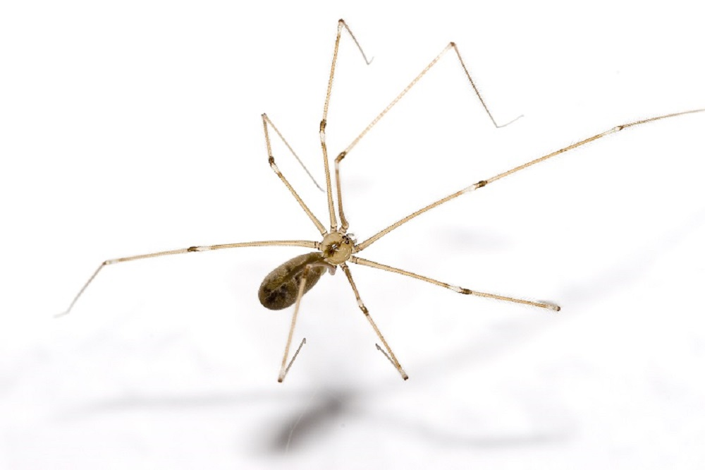 Cellar Spider, Pacific Northwest