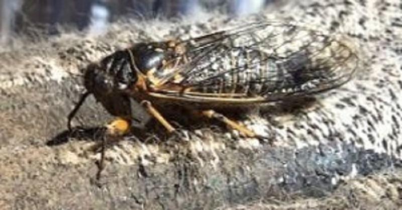 Cicada, Vancouver Island, BC