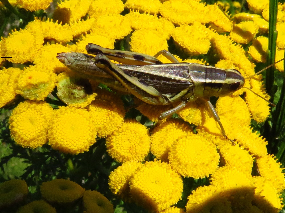 Clear Winged Grasshoppers