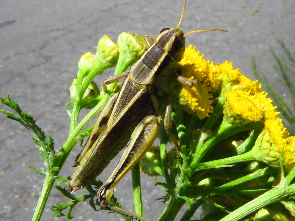 Clear Winged Grasshopper, Vancouver Island, BC