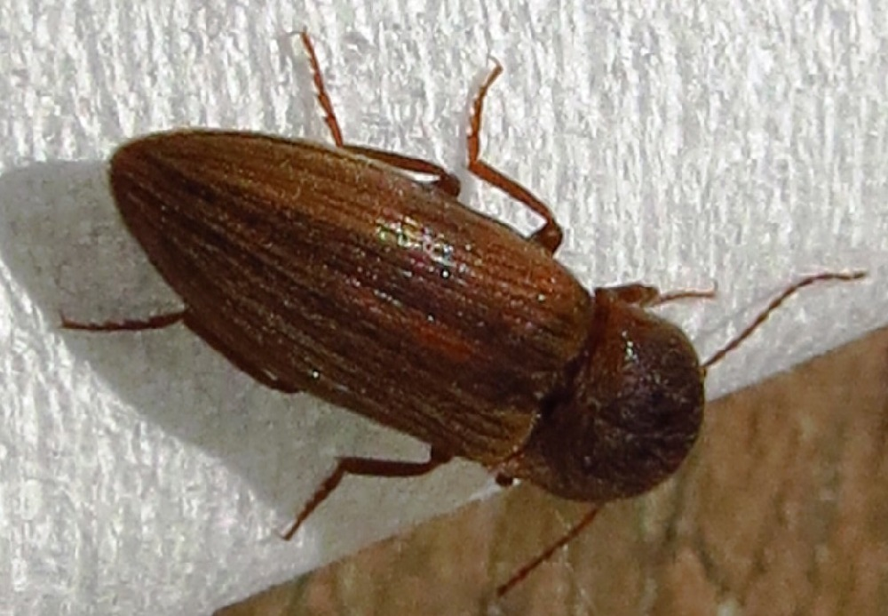 The Click Beetles common name comes from the clicking sound that is made by a mechanism on the thorax of adults. These beetles use this mechanism to throw themselves into the air or to right themselves when they are on their backs.