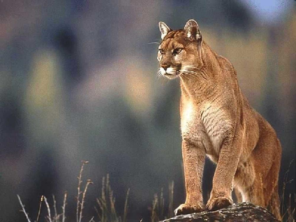 Cougar, Pacific Northwest