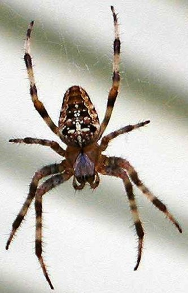 Cross Spider, Pacific Northwest