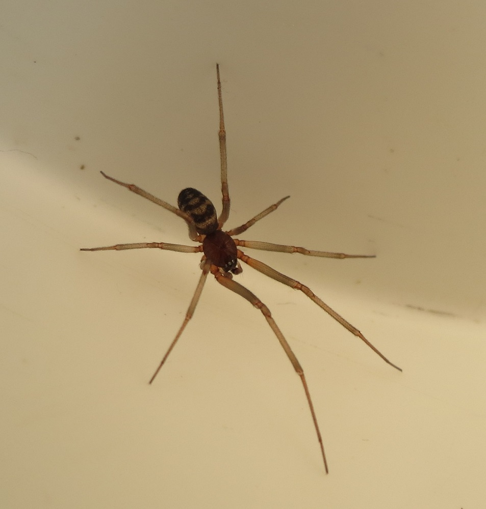 Cupboard Spider