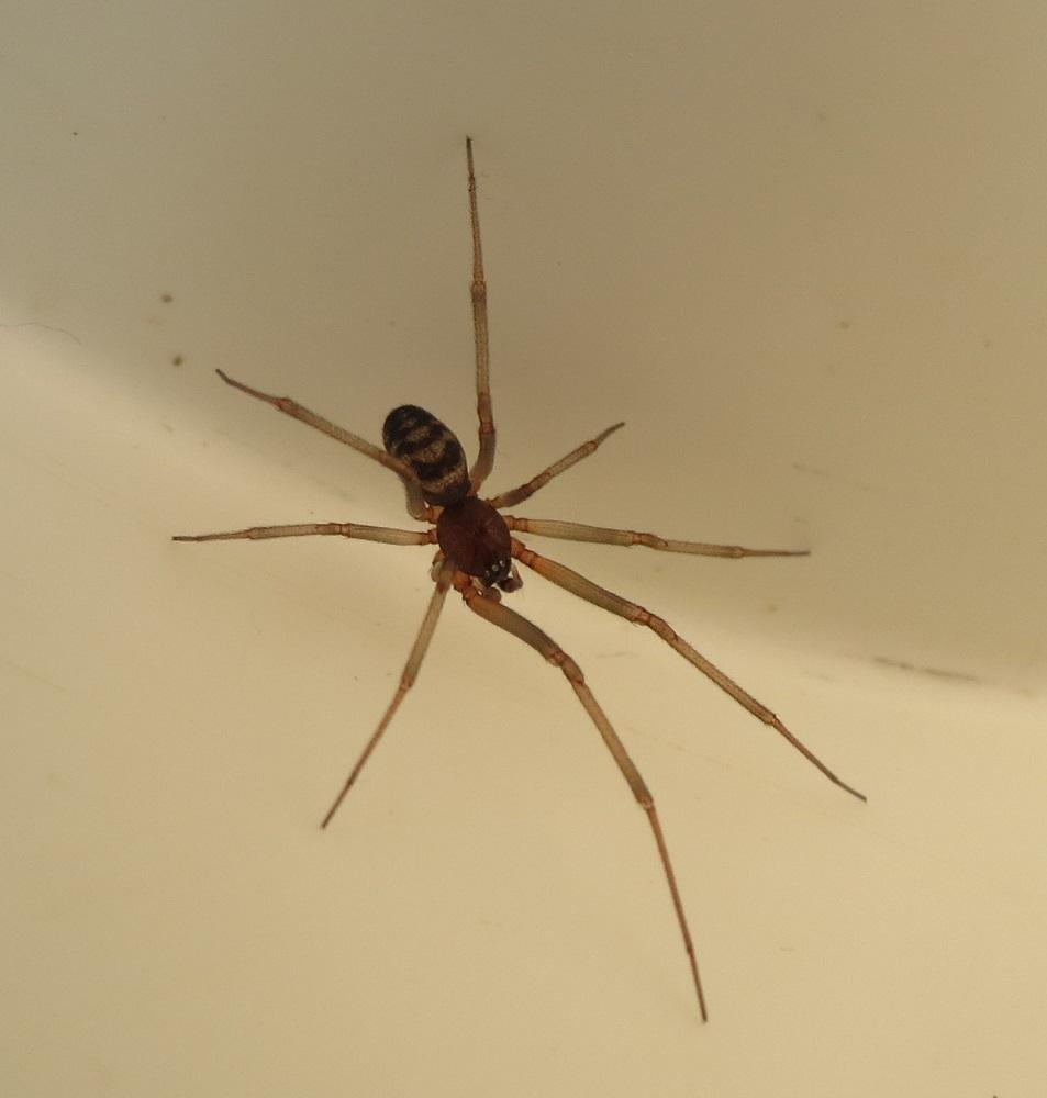 Cupboard Spider, Vancouver Island, BC