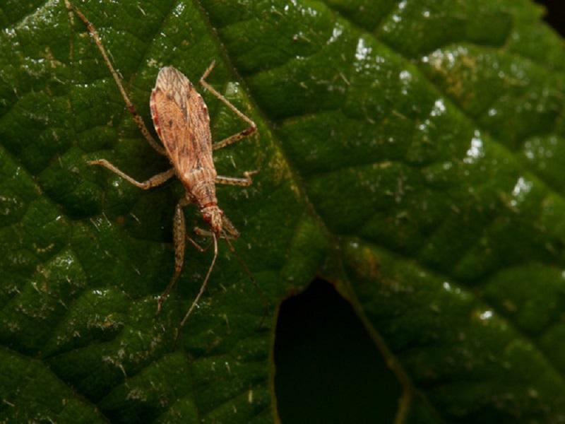 Damsel Bugs