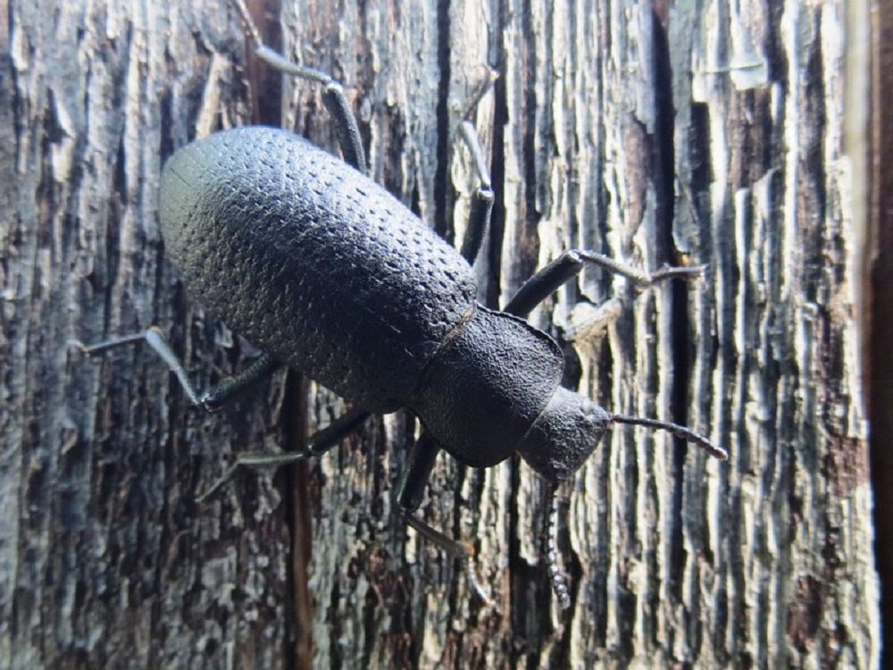 Most species of Darkling Beetles are active above ground through spring, summer and fall. With the onset of winter weather, some species seek shelter below ground in burrows of other animals and remain there until warmer weather returns in the spring.