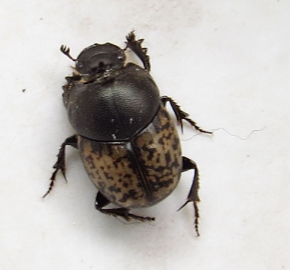 Adult Dung Beetles range in size from 2 to over 50 mm in length. Most of these beetles are dark brown or black but a few have bright patterns or metallic colors.
