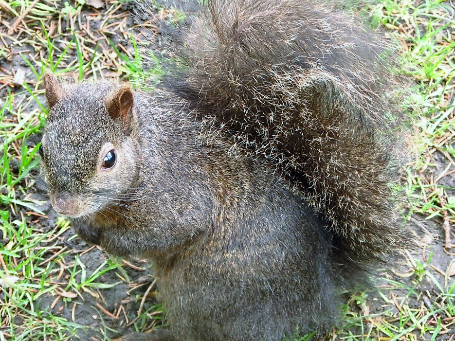 Eastern Gray Squirrel, Pacific Northwest