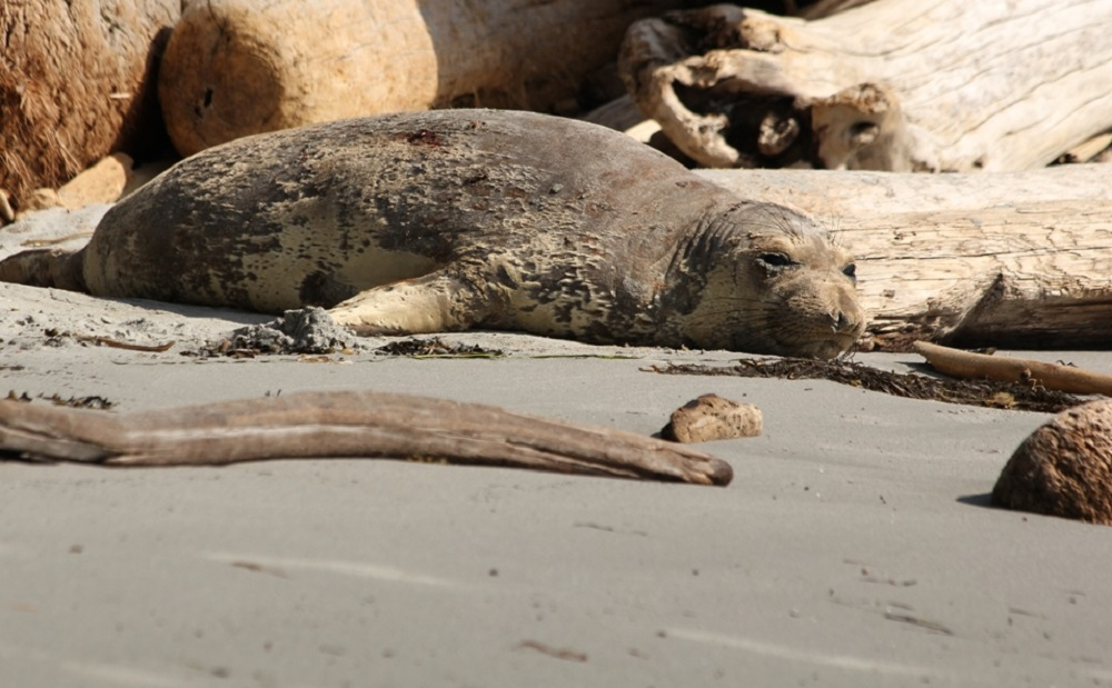 Northern Elephant Seal, Vancouver Island, BC