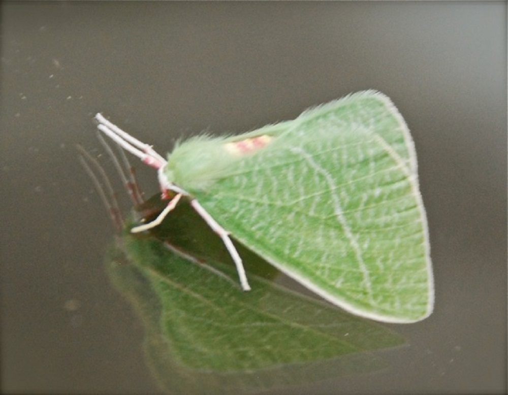 The Emerald Moth is one that could be mistaken for a butterfly by its shape. The upper wings are a light, dusky emerald in color, the upper edge bordered with white.