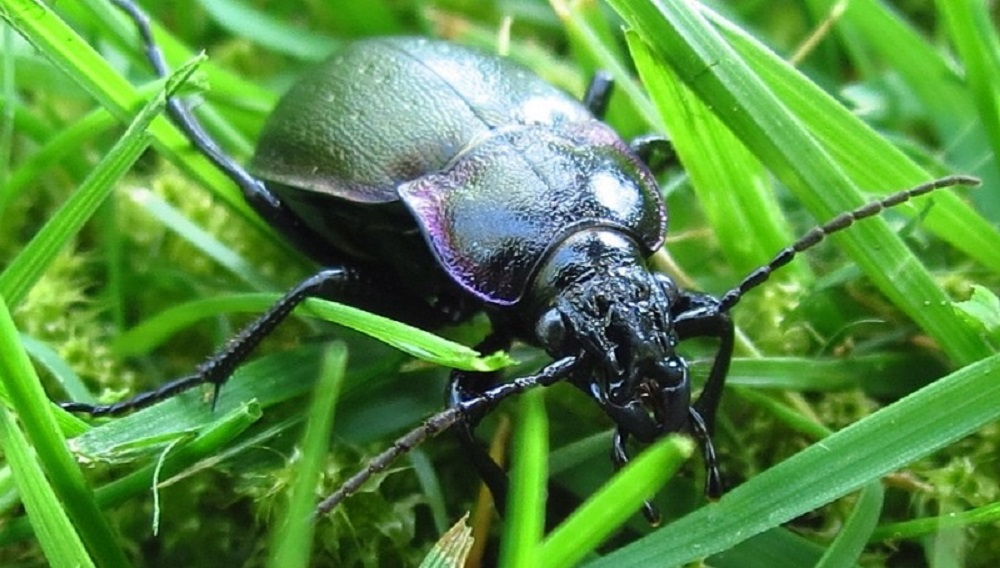 Most species of ground beetles found on Vancouver Island are dull brown or black in color, with long parallel grooves and ridges on the back of their abdomen which is actually their hardened front pair of wings. They have long legs which allow them to move quickly along the ground in search of prey.