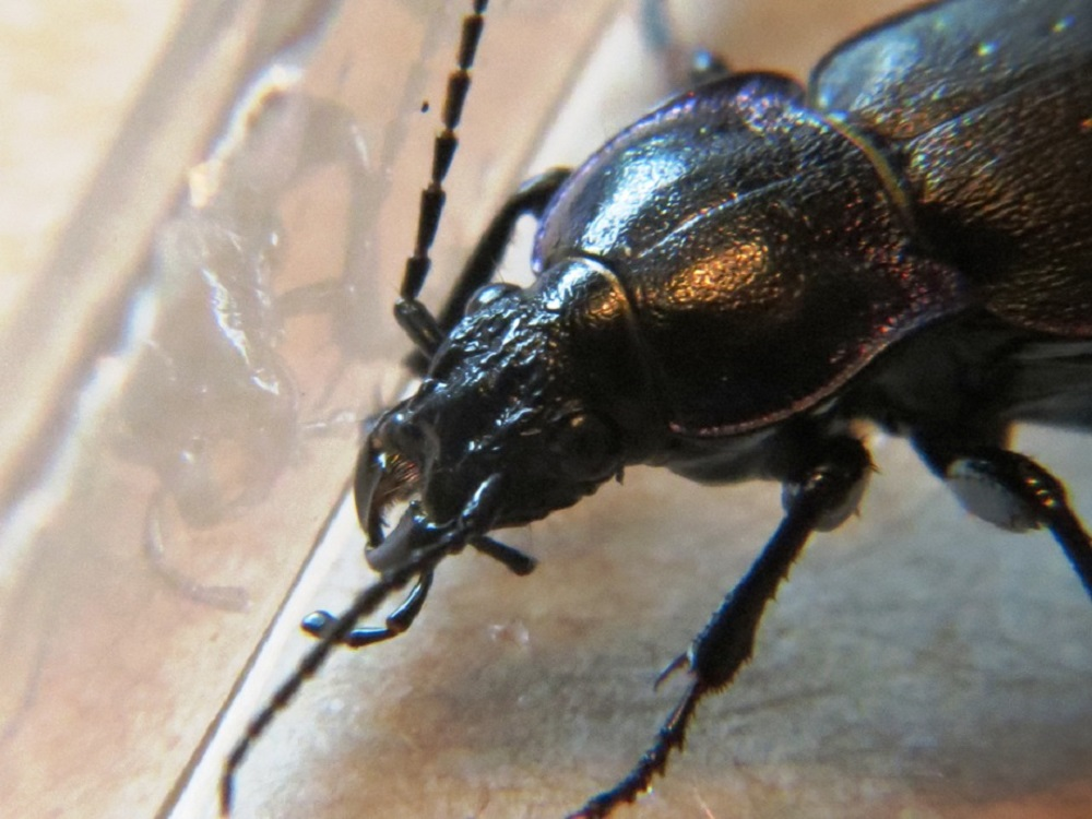 European Ground Beetle