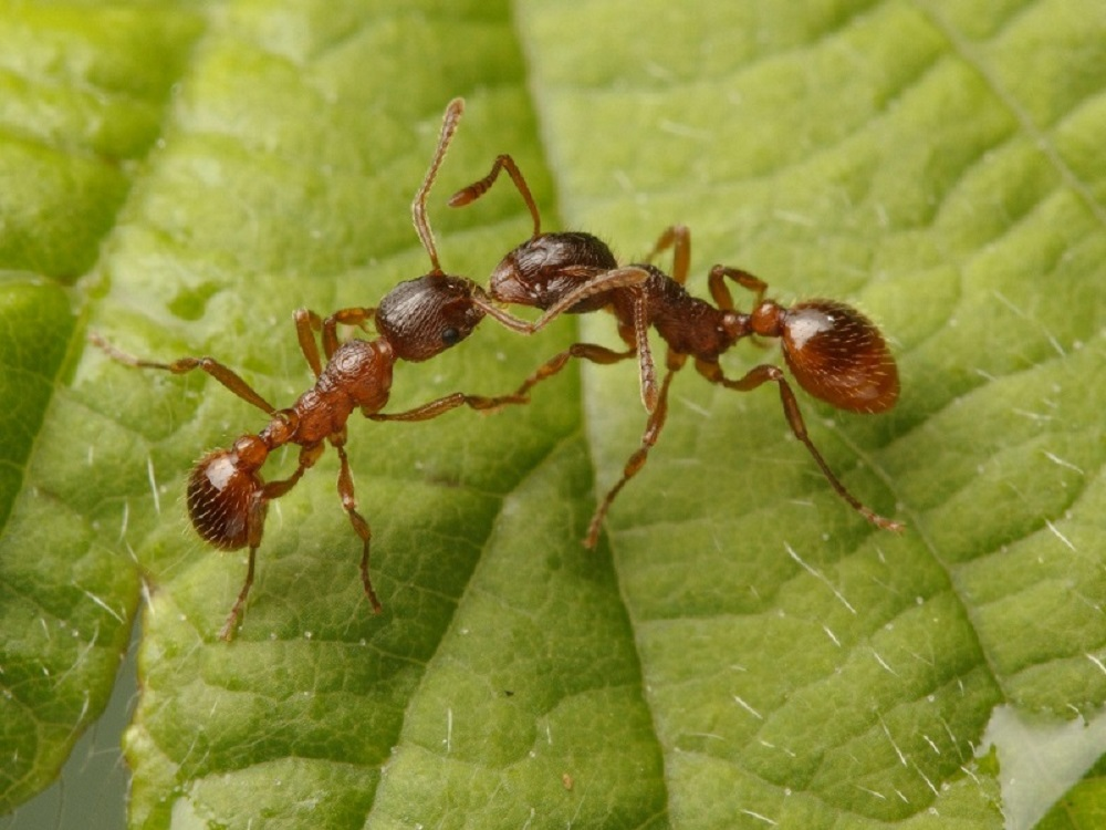 While other ants in British Columbia can be aggressive and bite, they are usually just an annoyance and encountered as single or a few ants. The European fire ant, however, swarms rapidly when disturbed, and stings repeatedly.