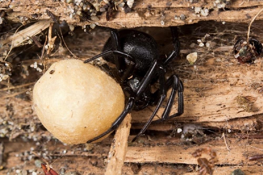 Black Widow Spider, Spiders, BC Coast