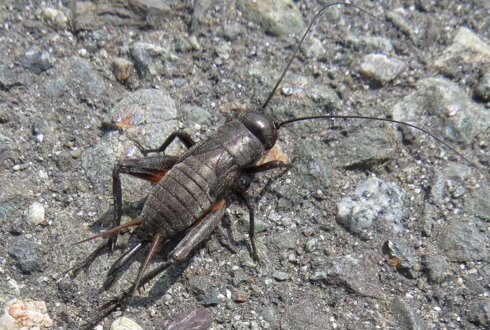 Field Cricket