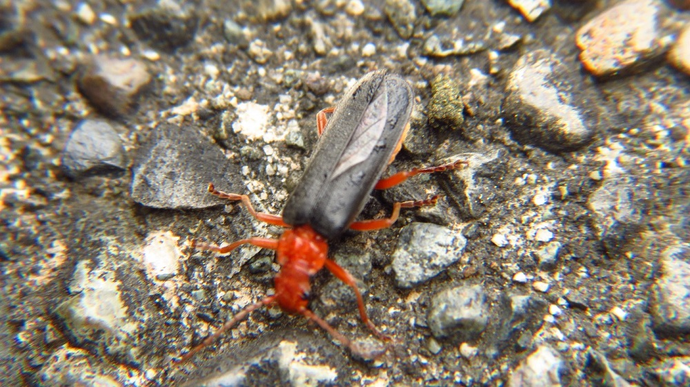Like all beetles, fire colored beetles undergo a complete metamorphosis with egg, larval, pupal, and adult stages.
