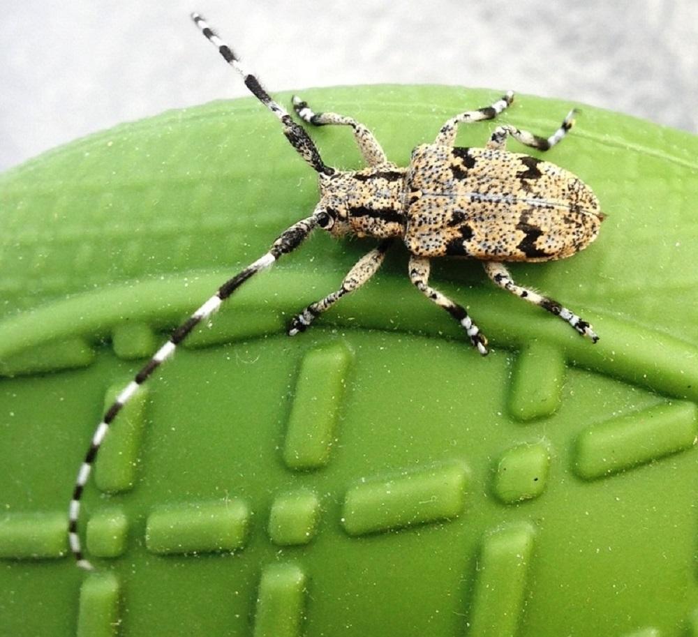 Flat Faced Longhorn Beetles