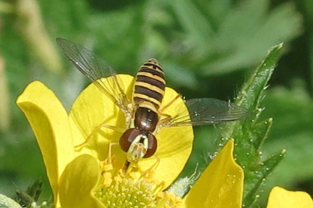 Flower flies are small to large flies that are very slender to robust. Most are brightly colored and many look like bees or wasps, but they do not sting. They have large eyes that cover almost the entire head.