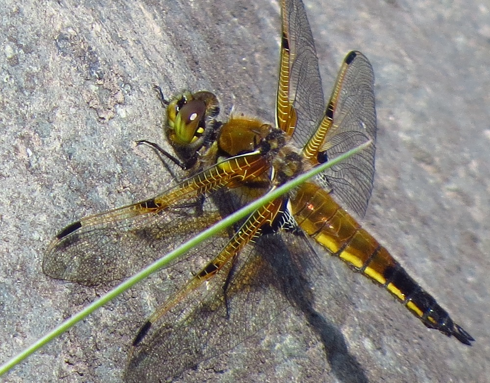 Both the dragonfly and it's larvae are carnivorous animals and they feed exclusively on other small animals. The main prey of the dragonfly are mosquitoes, bees and other small invertebrates. The larvae feeds mainly on aquatic insects and their eggs. The dragonfly is itself, preyed upon by a number of predators including birds, fish, toads and frogs.