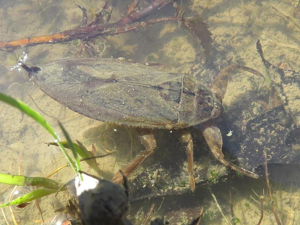 Giant Water Bug, serangga unik yang hidup di Air