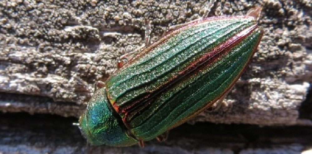 Some species of Metallic Wood Boring Beetles will attack living trees or newly cut logs. Other species occur on the leaves of trees and shrubs, or are leaf miners. These beetles will fly when they are alarmed