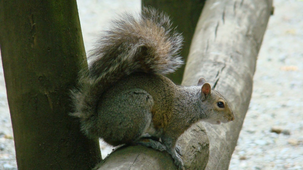 Gray Squirrel, Pacific Northwest