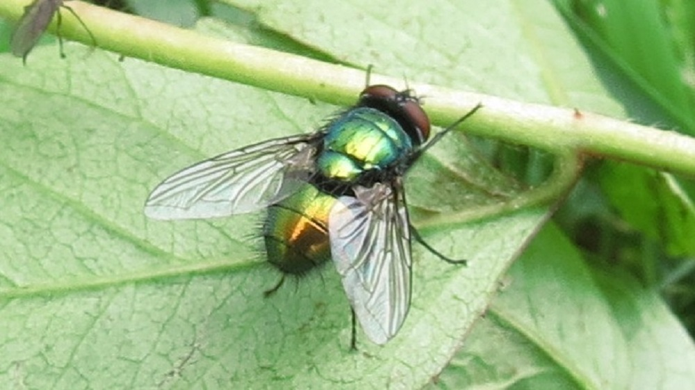 The green bottle fly is known to feed on animal feces, exposed food and decomposing plants or animals. Larvae feed on decaying animal flesh and they need rotting meat to complete their development.