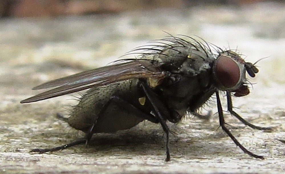 There are more than 100,000 different species of flies including the greenback fly. They are found everywhere in the world, even in Antarctica. They belong to the order of insects called Diptera which means two wings. Most insects have 4 wings.