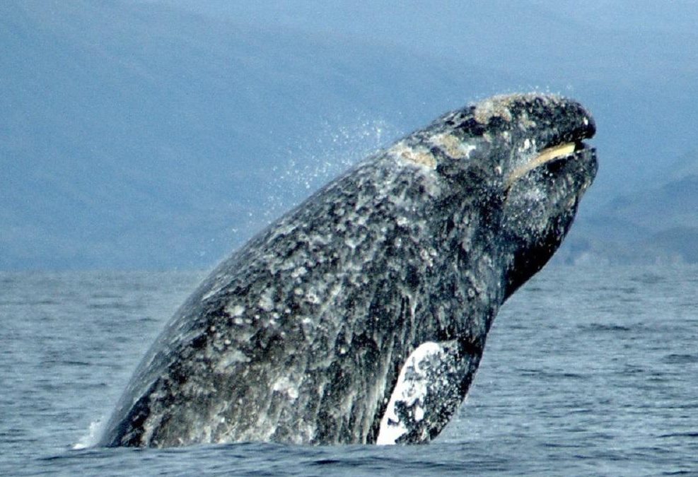 Grey Whale, Marine Animals, BC Coastal Region