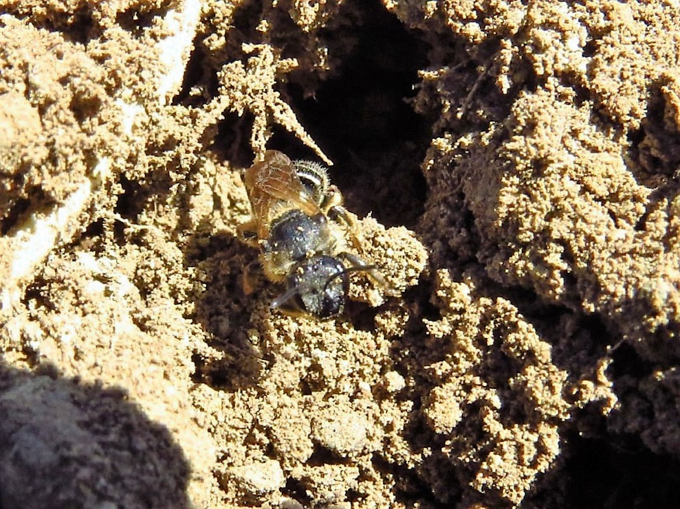 The digger bees are not very aggressive and will not sting unless handled roughly. Even then, their sting is much milder than say that of a honey bee or yellow jacket. The male bees cannot sting at all.