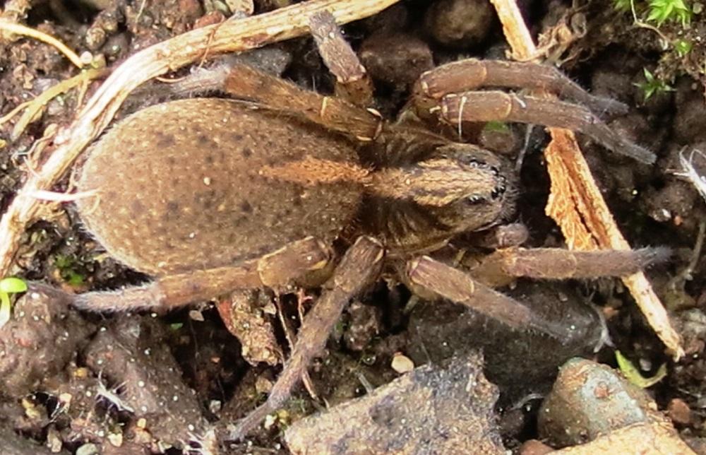 Ground Wolf Spider, Pacific Northwest