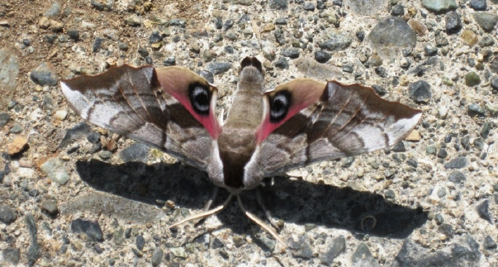 The hind wings are reddish brown, flushed with a rosy pink hue and large bluish grey eye spots. The Eyed Hawk Moth adopts a curious resting posture, where the fore wings are held over the hind wings and the body is curled upwards. When threatened, it exposes its hind wings to reveal the large eye spots
