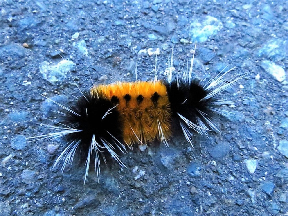 Hickory Tussock Tiger Moth Caterpillar, Vancouver Island, BC