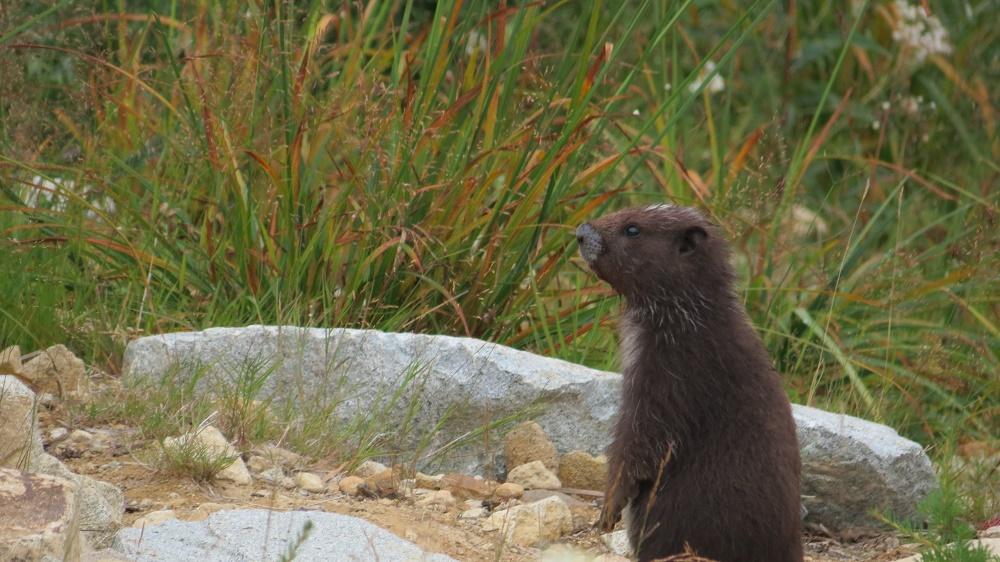Hoary Marmot, Vancouver Island, BC