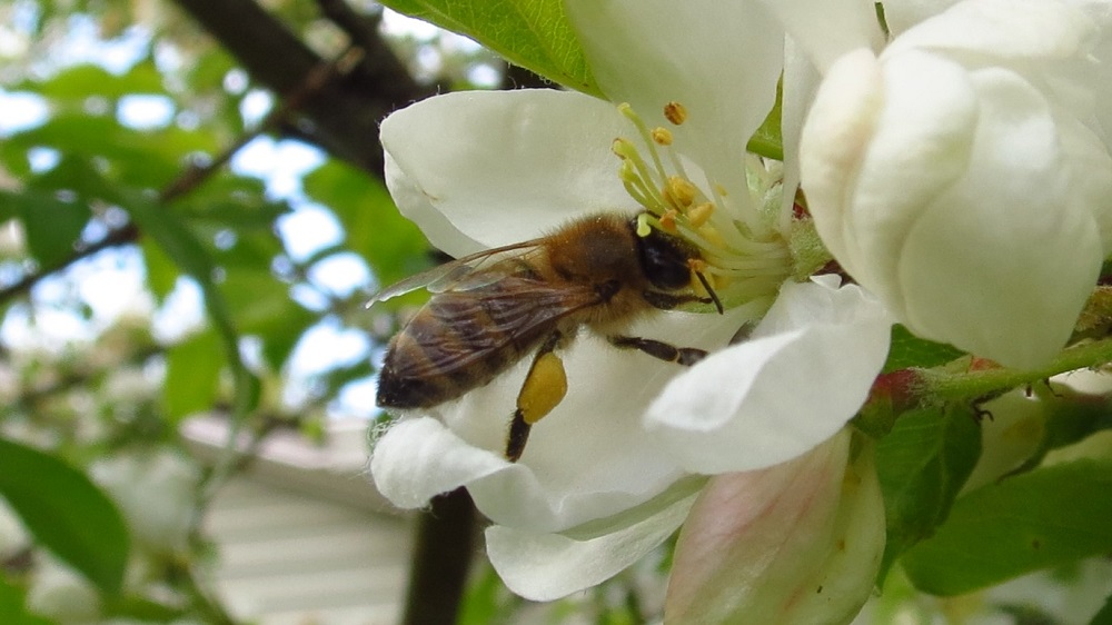 Honey Bees are social insects that live in colonies. The hive population consists of 1 queen, a small number of drones plus thousands of worker bees.The honeybees forage for nectar and pollen from flowering plants. They use the nectar they collect for food for themselves and to feed the young bees of the nest.