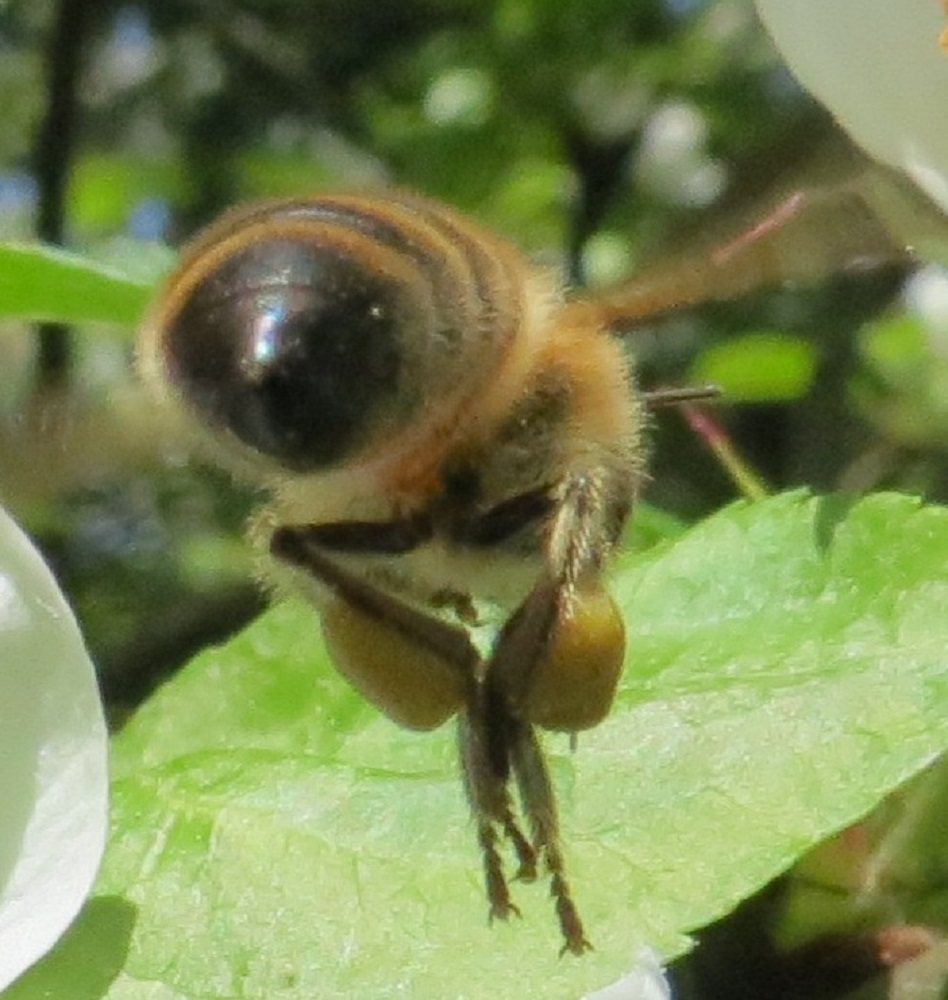 Bees are capable of seeing ultraviolet light, which is invisible to humans. Theyare capable of navigating by ultraviolet light, which even penetrates cloud cover. Honey bees also use the sun as a reference point to communicate to others the angle of flight to be followed to arrive at newly discovered nectar bearing flowers.