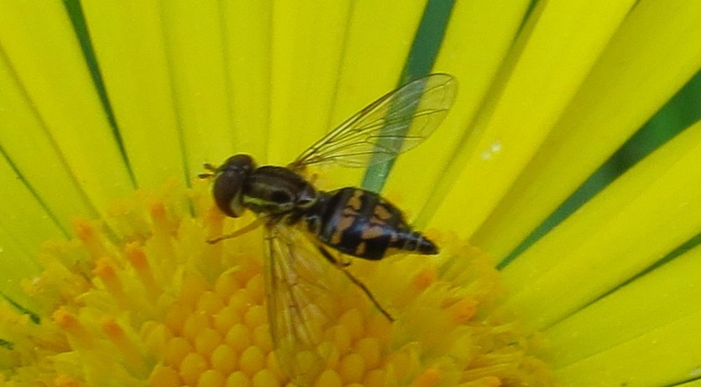 Hover flies have spots, bands or stripes, of yellow, brown against a dark-colored background, sometimes with dense hair covering the body surface.