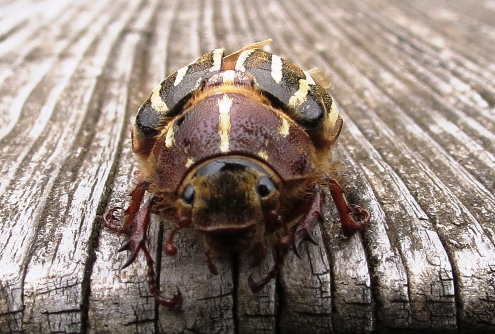 The June Beetles are found west of the Rocky Mountains. Larvae feed on the roots of plants and the adults feed on foliage. Infestations spread as mated females tend to stay in one spot and the long time span of each generation, which can be four to five years before they reach sexual maturity in the pacific northwest.