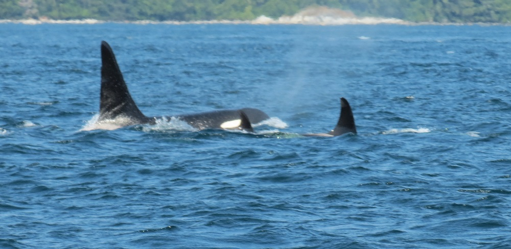 Killer Whales, Pacific Northwest