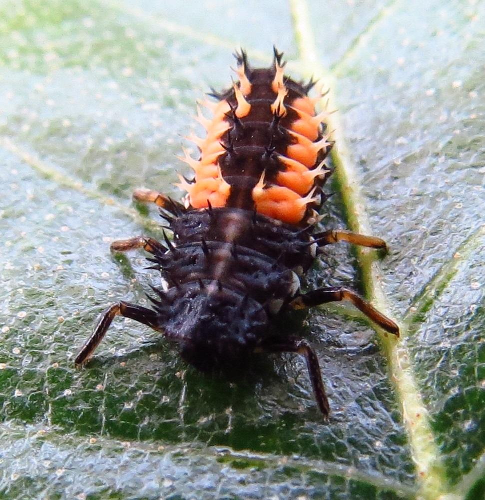 Ladybird Beetle Larvae, Vancouver Island, BC