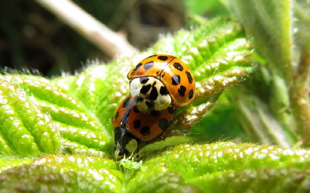 This is one of the most beneficial families of beetles, because adults and larvae of most species of Ladybird Beetles feed on pest insects like aphids.
