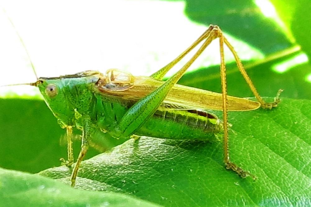 Long Wing Conehead Cricket