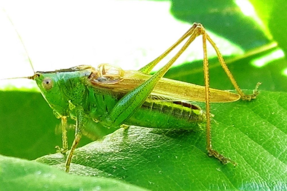 The long winged conehead is easily identified by the combination of its green coloration, brown stripe down the back, pointed head and long, brown wings.
