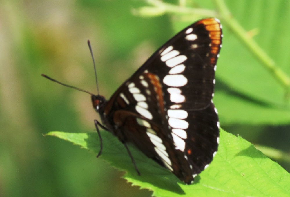 The lorquin's Admiral Butterfly has large bright colored wings. A deep warm brown makes up the base of the wings and their unmistakable fiery orange tips are beautiful.