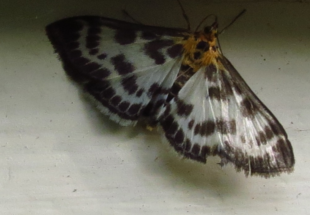 The Magpie Moth has variable black and white patterned wings with a yellowish coloring on its upper torso and head. It is found throughout the BC coast.